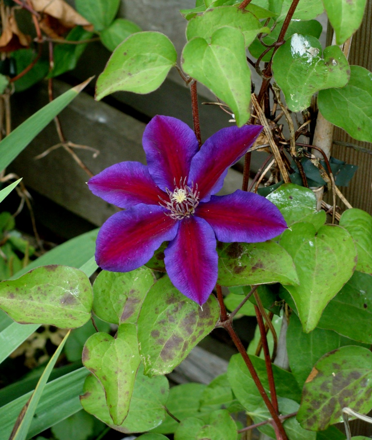 Clematis 'Mrs N. Thompson' - Bosrank