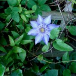 Clematis 'Crystal fountain' - Bosrank