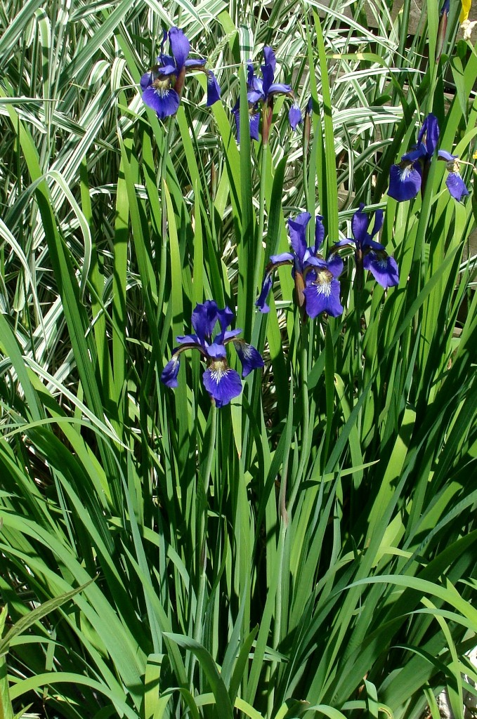 "Iris sibirica ""Blue king"""