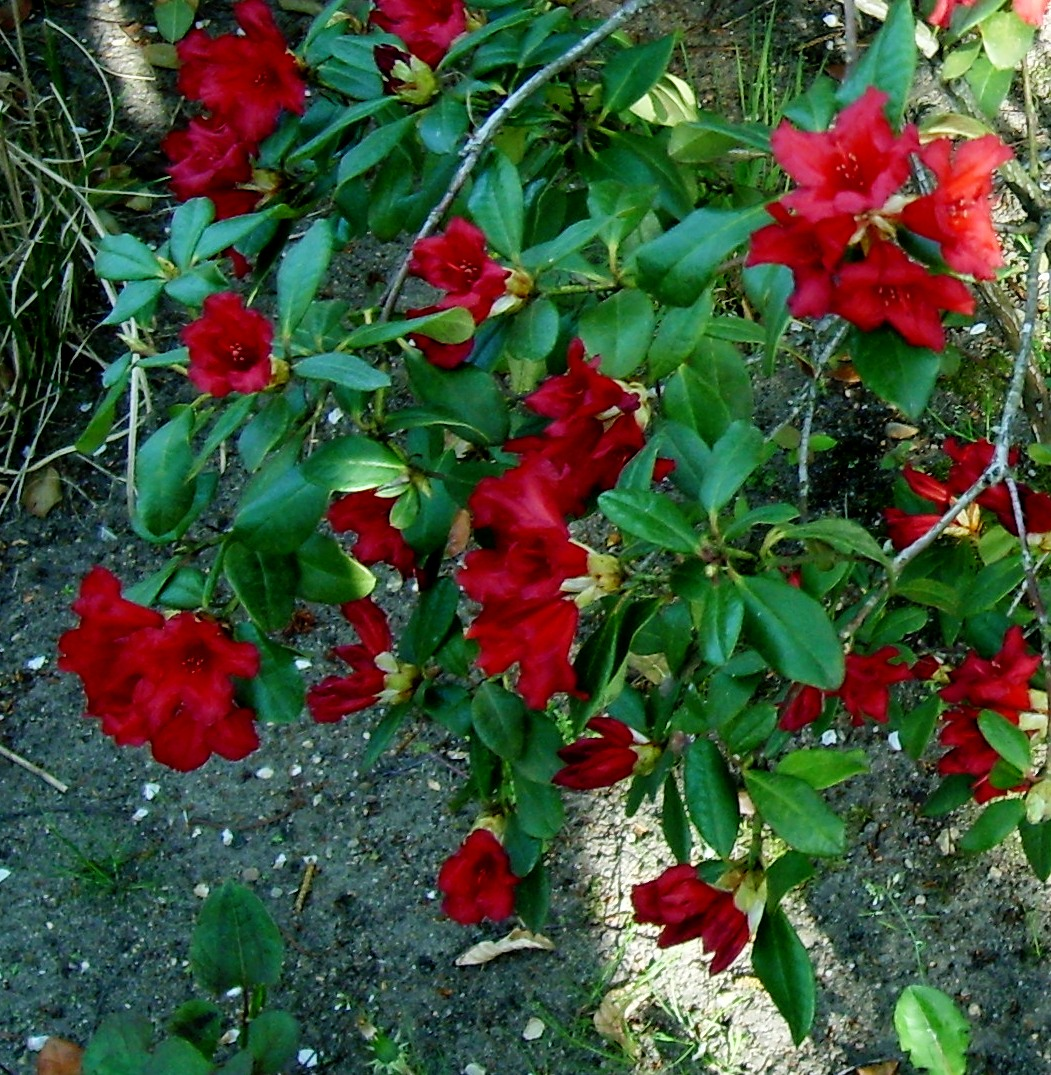 Rhododendron forrestii - Rhododendron (rood)
